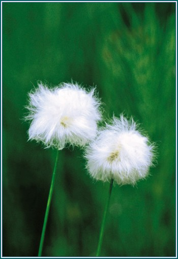 f 14CottonGrass