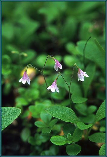 f22 Twinflower